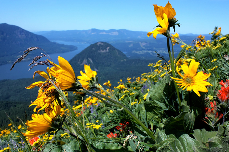 Yellow arrowleaf balsamroot flowers, red paintbrush, and purple lupine in full bloom at Dog Mountain. Hills and the Columbia River are in the background.